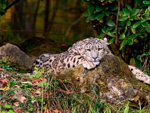 Resting, snow leopard