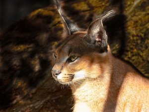 Caracal, light breaking through sky