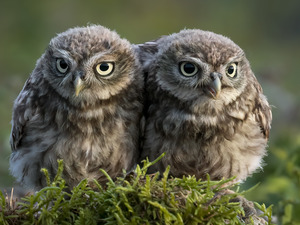 Two, Little Owl, Moss, Owls