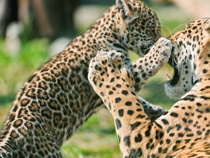 play, leopardess, little doggies