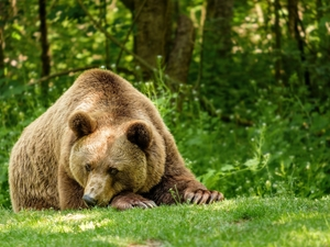lying, Brown bear