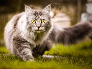 grass, cat, Maine Coon