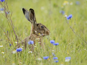 cornflowers, Wild Rabbit, Meadow