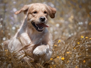 Puppy, Meadow, Flowers, Golden Retriever