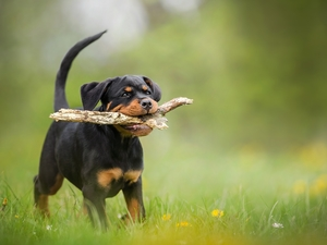 stick, Puppy, grass, Rottweiler, dog, Meadow, Flowers