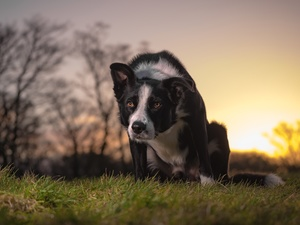 dog, Meadow, grass, Border Collie