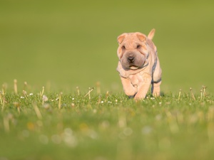 Meadow, grass, Puppy, Shar Pei, dog