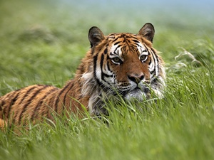 Meadow, tiger, grass