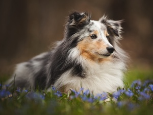 Flowers, shetland Sheepdog, Meadow
