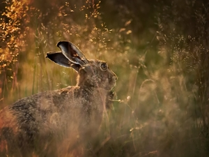 grass, Wild Rabbit, Meadow