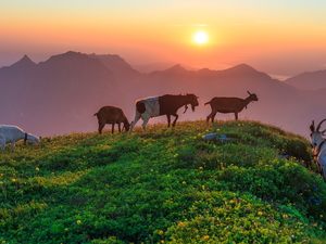Goats, Mountains, Great Sunsets, Hill