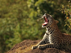 mouth, Leopards, open