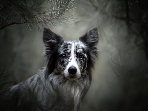 muzzle, dog, fuzzy, background, Twigs, Border Collie
