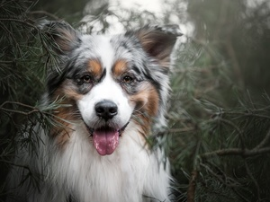 dog, muzzle, Twigs, Australian Shepherd