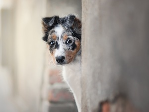 Puppy, muzzle, wall, Border Collie