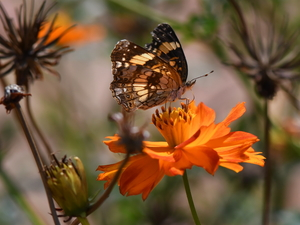 Colourfull Flowers, butterfly, Orange