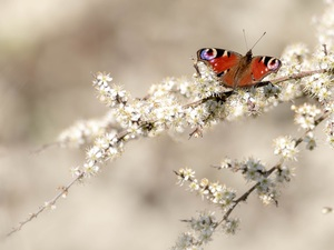 butterfly, Peacock, White, Flowers, Twigs