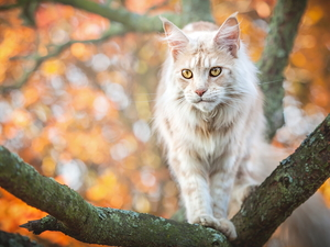 cat, trees, branch pics, Maine Coon