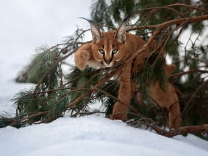 winter, Caracal, branch pics
