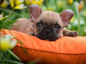 Pillow, Orange, French Bulldog, Puppy, dog