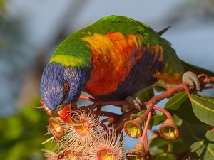 Blossoming, Corymbia Ficifolia, Mountain Rainbow Lorikeet, plant, parrot