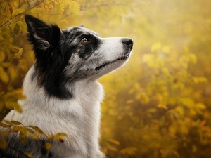 profile, Leaf, Border Collie, muzzle, dog