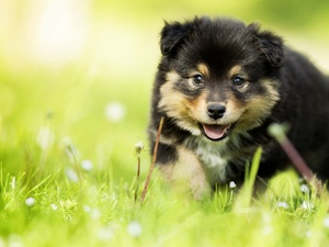grass, Finnish Lapphund, puppie