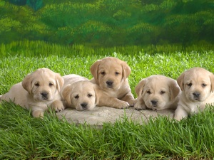 Labradors, beige, puppies, little doggies