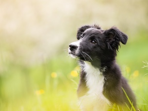 Meadow, blurry background, Puppy, Border Collie, dog