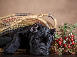 Puppy, basket, dog, Cane Corso, Black