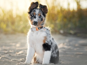 Border Collie, sitter, Puppy