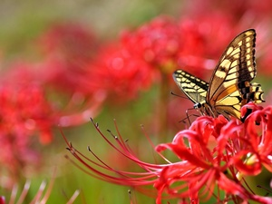 Colourfull Flowers, butterfly, Red