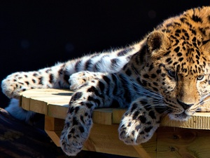 Leopards, resting