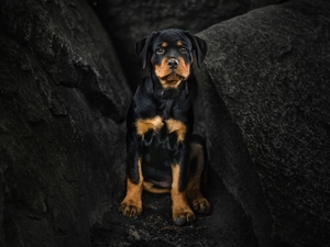 dog, Rottweiler, rocks, Puppy