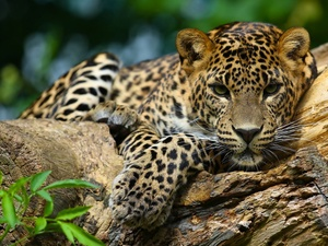 Leopards, Rocks