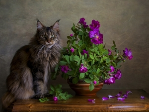 cat, roses, bowl, Maine Coon