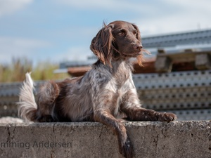 ledge, dog, English Setter