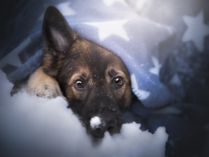snow, muzzle, German Shepherd, Blanket, dog