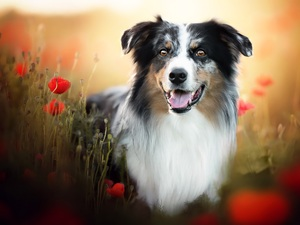 papavers, dog, Australian Shepherd