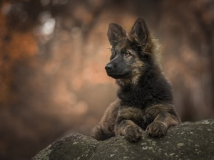 stone, Puppy, German Shepherd