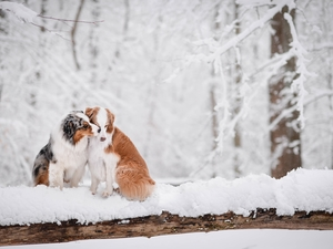 Two cars, Australian Shepherds, winter, Dogs