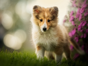 shetland Sheepdog, dog, Flowers, grass, muzzle, Puppy