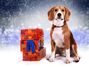 Beagle, incident, snow, gifts