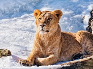 Beatyfull, Lion, snow, young