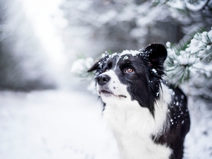 snow, Twigs, Border Collie, winter, dog