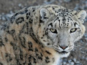 Eyes, cat, snow leopard