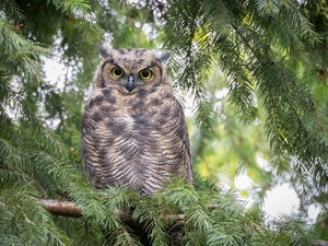 owl, Twigs, spruce, Great Horned Owl