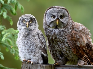Owls, twig, spruce, owls of moss