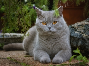 British Shorthair Cat, Stone
