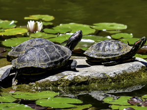 Water lilies, Turtles, Stone